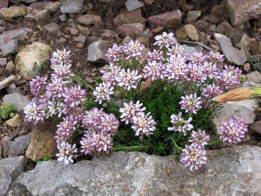 Иберис: посадка и уход в открытом грунте, выращивание из семян, фото цветка