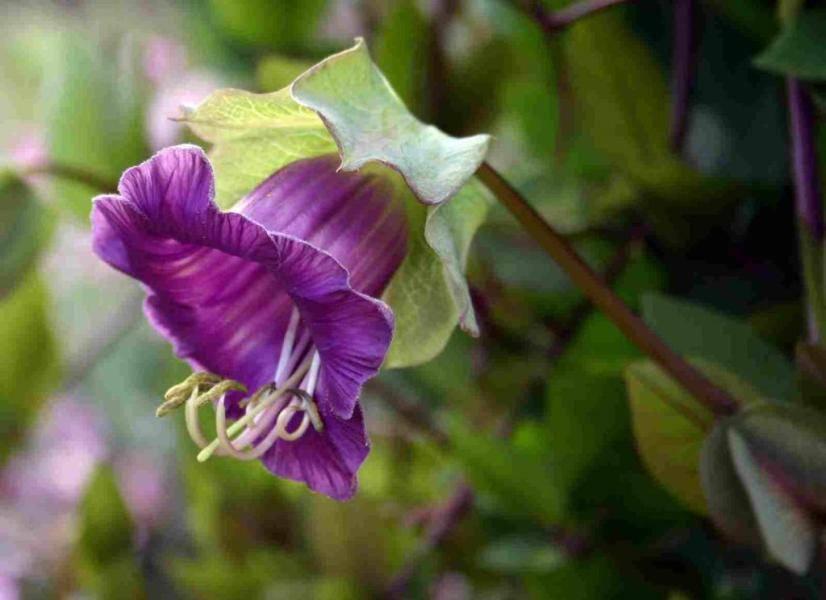 Кобея лазающая в саду: выращивание и фото