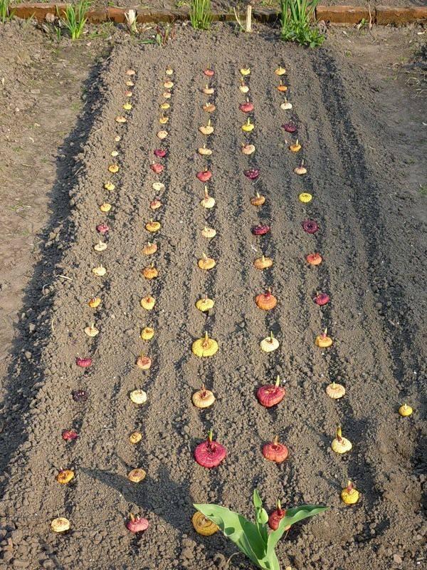 Особенности посадки и ухода за гладиолусами в сибири