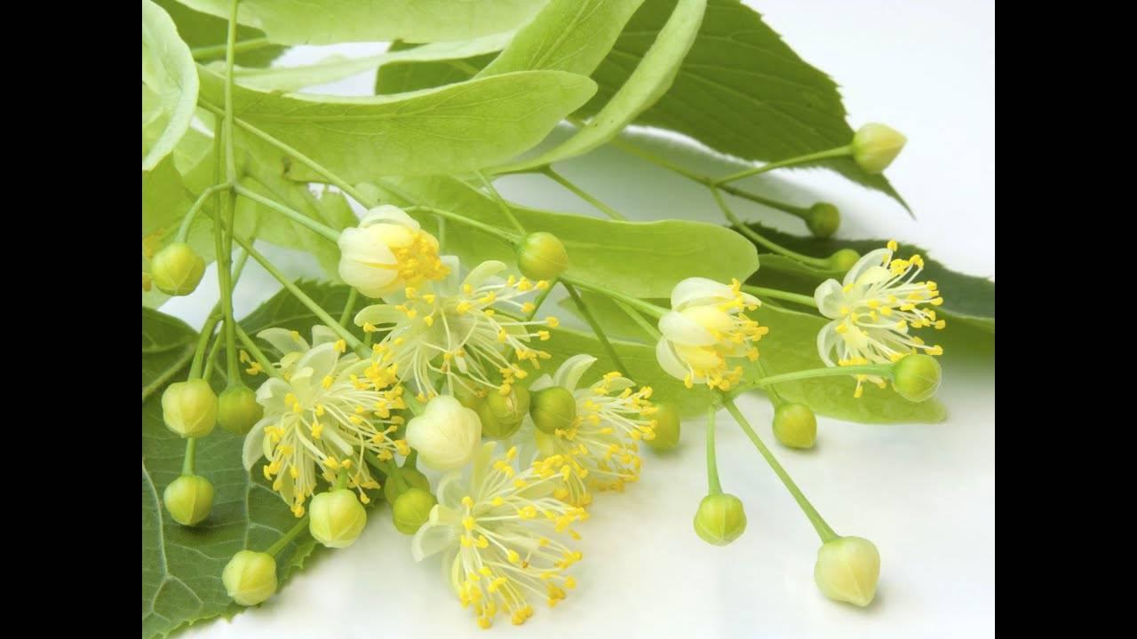 Народные рецепты: лечебные свойства и противопоказания липового цвета