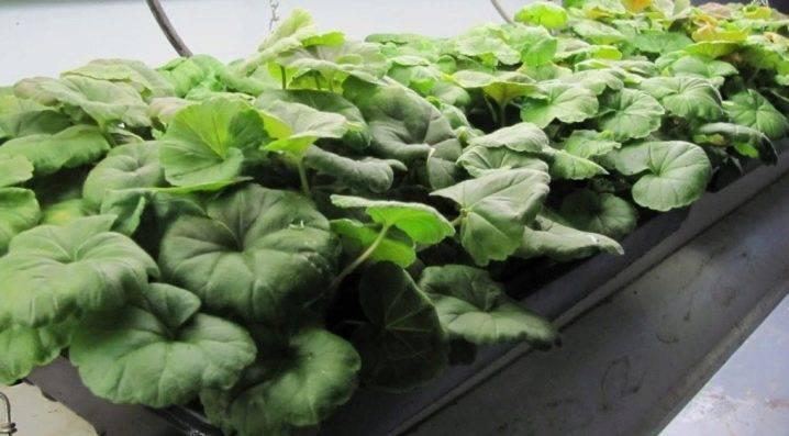 Пора сажать пеларгонию на рассаду: сроки посева и выращивание герани для сада из семян