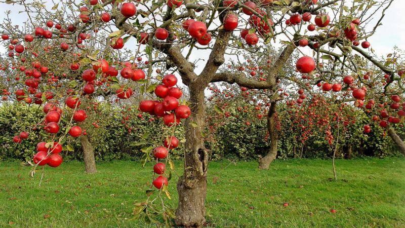 Самые лучшие сорта яблони для подмосковья