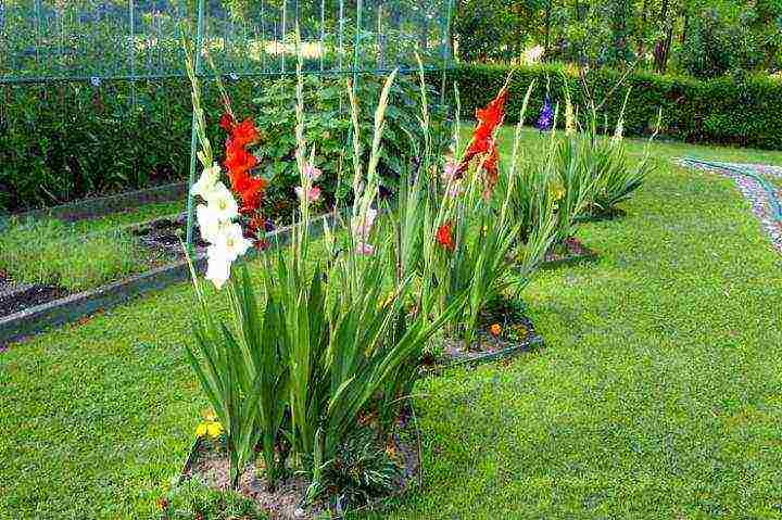 Гладиолусы - посадка и уход в открытом грунте, правила выращивания