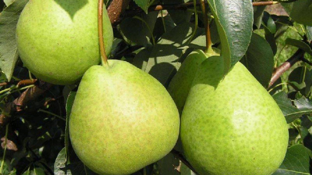 Груша москвичка — скороплодный сорт