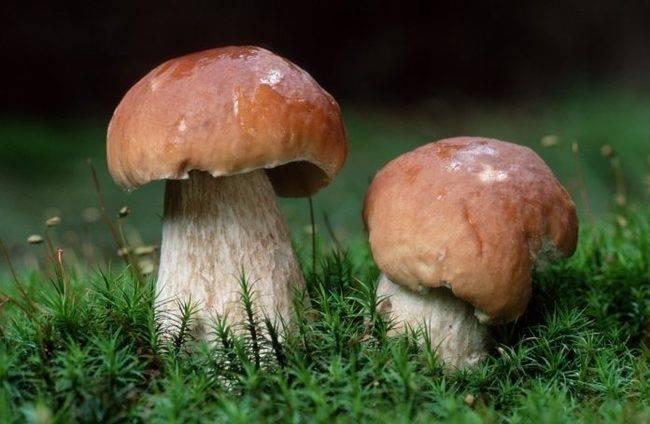 Как вырастить белые грибы на даче своими руками