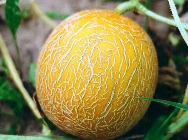 Ароматная и вкусная дыня «хасанка»: как выбрать и вырастить на своем участке