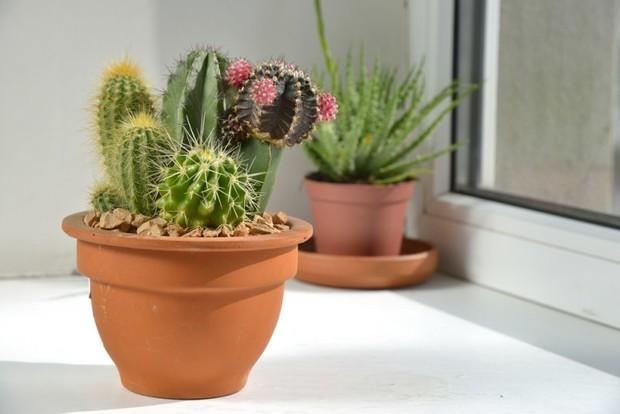 Правильный полив кактусов в домашних условиях