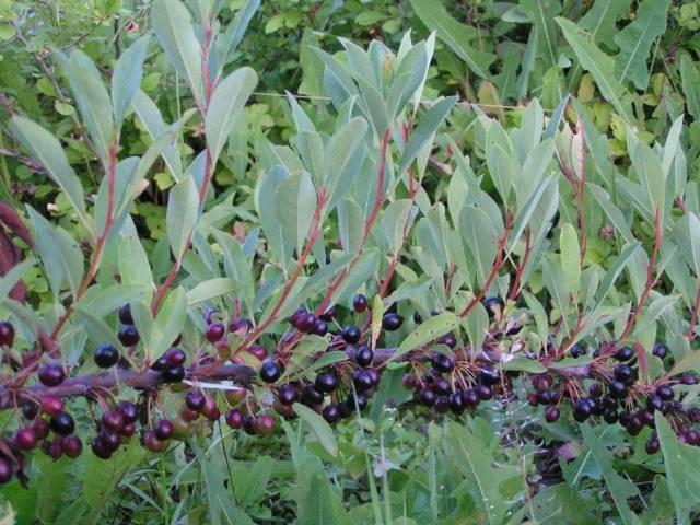 Описание и размножение вишни сорта бессея, правила посадки и ухода