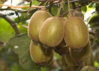 Актинидия: как посадить и ухаживать? ее полезные свойства и популярные сорта