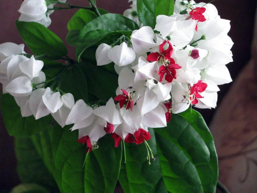 Что за растение клеродендрум томпсона? все нюанса ухода за цветком в домашних условиях