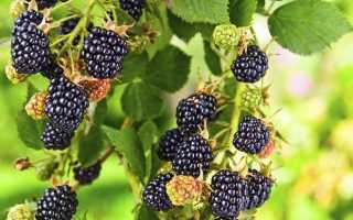 Урожайные сорта ежевики для подмосковья и средней полосы россии