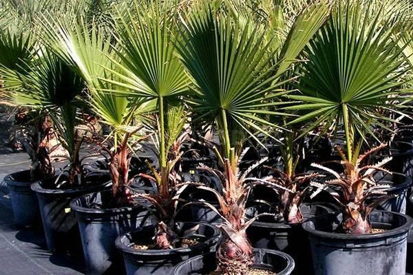 Выращивание пальмы в домашних условиях - выбор горшка, видео