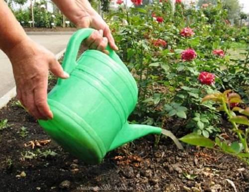 Плетистые розы – правильный уход за капризными красавицами