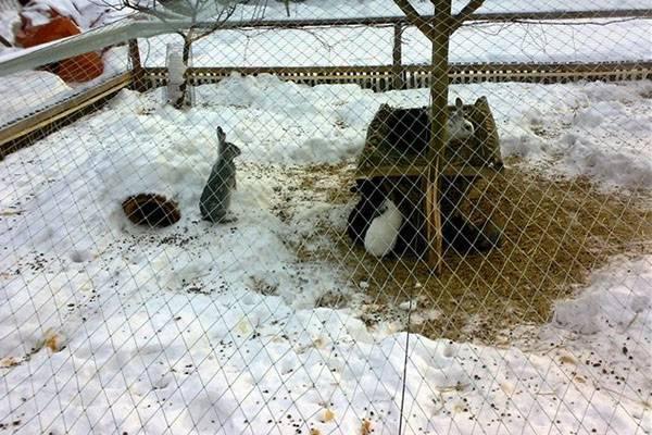 Можно ли держать кур и кроликов в одном вольере?