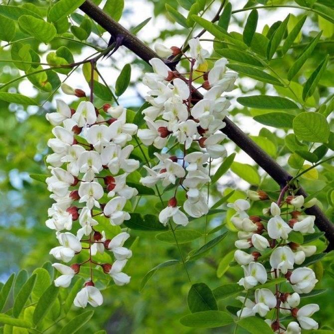 Выращивание акации из семян: все, что нужно знать садоводам