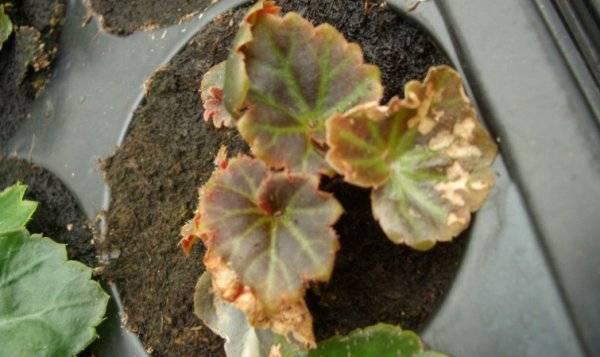 Бегония садовая на клумбе — посадка и уход