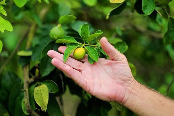 Семена бергамота как вырастить