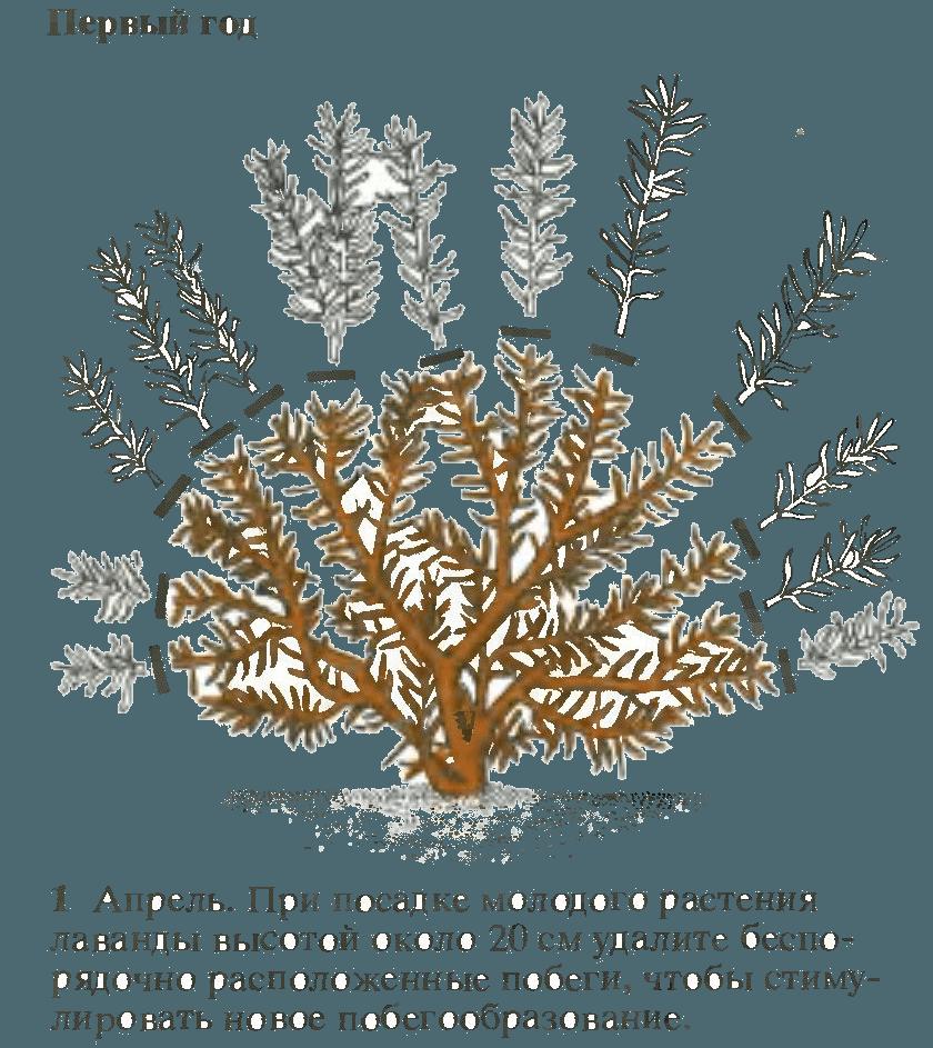 11 выводов и советов по выращиванию лаванды от владельцев лавандовой фермы