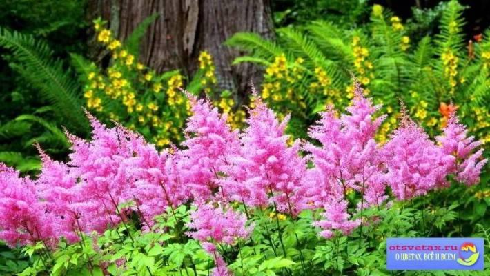 Как и когда сажать астильбу весной в открытый грунт