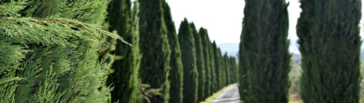 Обзор популярных видов и сортов кипарисовика с фото