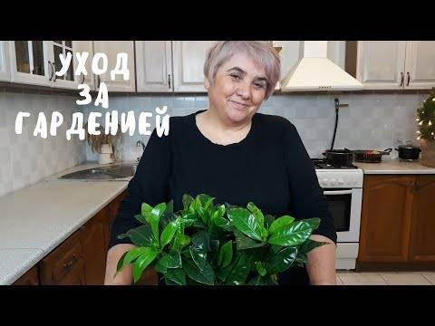 Гардения жасминовидная чернеют листья и опадают. чернеют листья у гардении. что делать?
