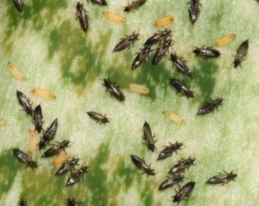 Щитовка на комнатных растениях – как избавиться, химические препараты и народные методы