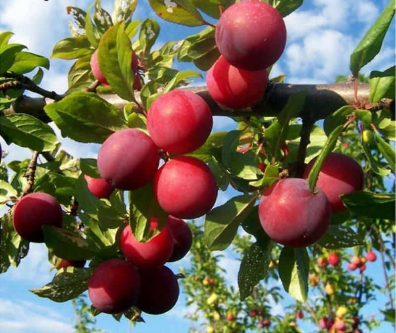 Особенности агротехники сливы сорта Персиковая