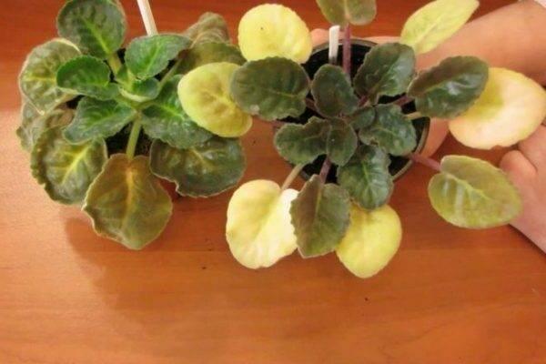 Почему у фиалки желтеют листья: причины и последствия
