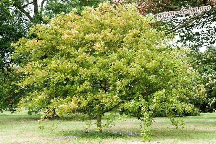 Величественный воин сада — дерево ясень