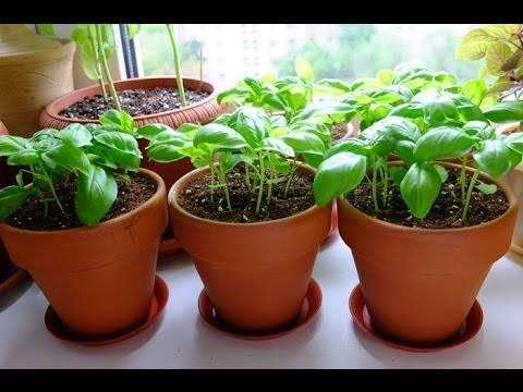 Как вырастить базилик на подоконнике в квартире из семян