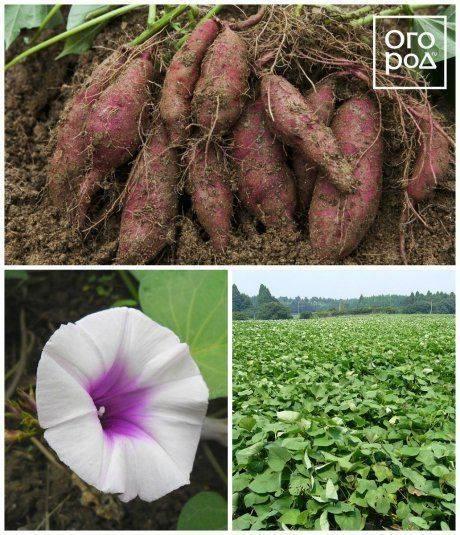 Турнепс кормовой, описание культуры, выращивание, видео