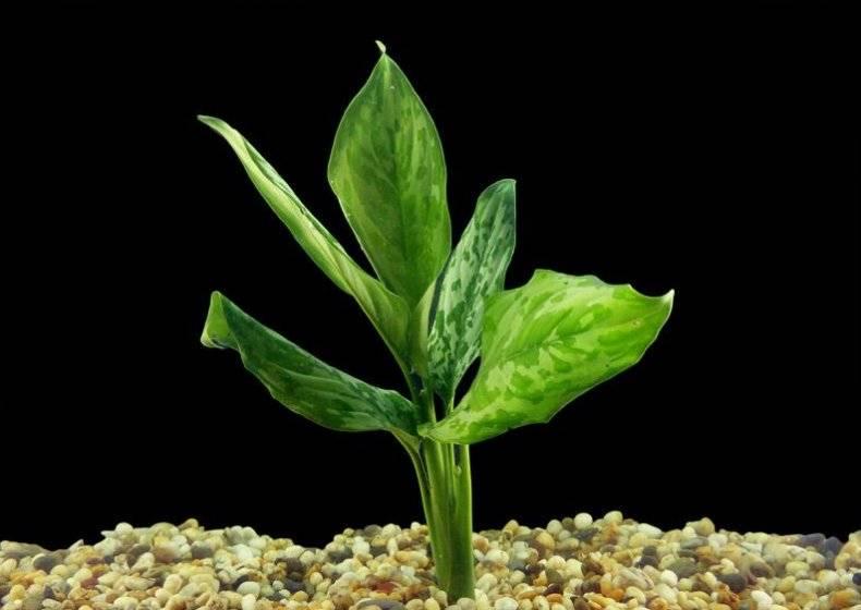 Аглаонема: сорта, свойства, уход и размножение