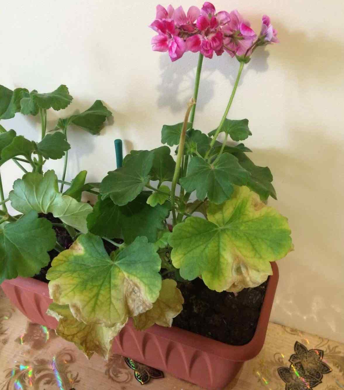 Что делать, если желтеют листья у герани: уход и профилактика болезней