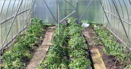 Посадочные дни для томатов для теплицы на 2020 год по лунному календарю