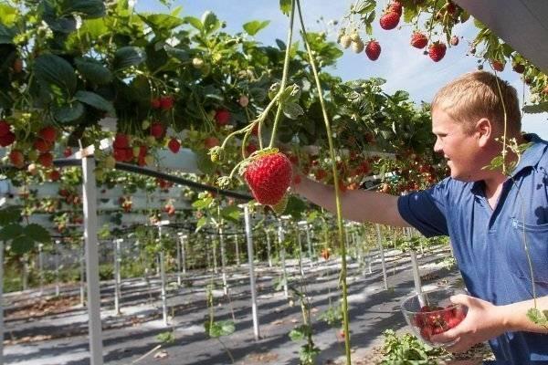 Выращивание клубники согласно голландской технологии