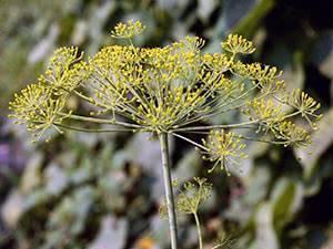 Посадка укропа весной в открытый грунт: секреты выращивания хорошего урожая