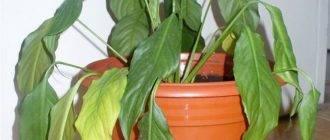 Что делать, если у диффенбахии желтеют листья — выясняем причину