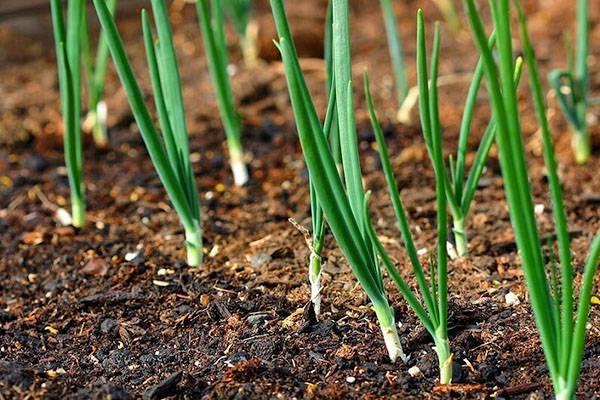 Как выращивать лук в на зелень теплице зимой