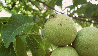 Самые крупноплодные сорта ореха – выбираем великанов для суперурожая