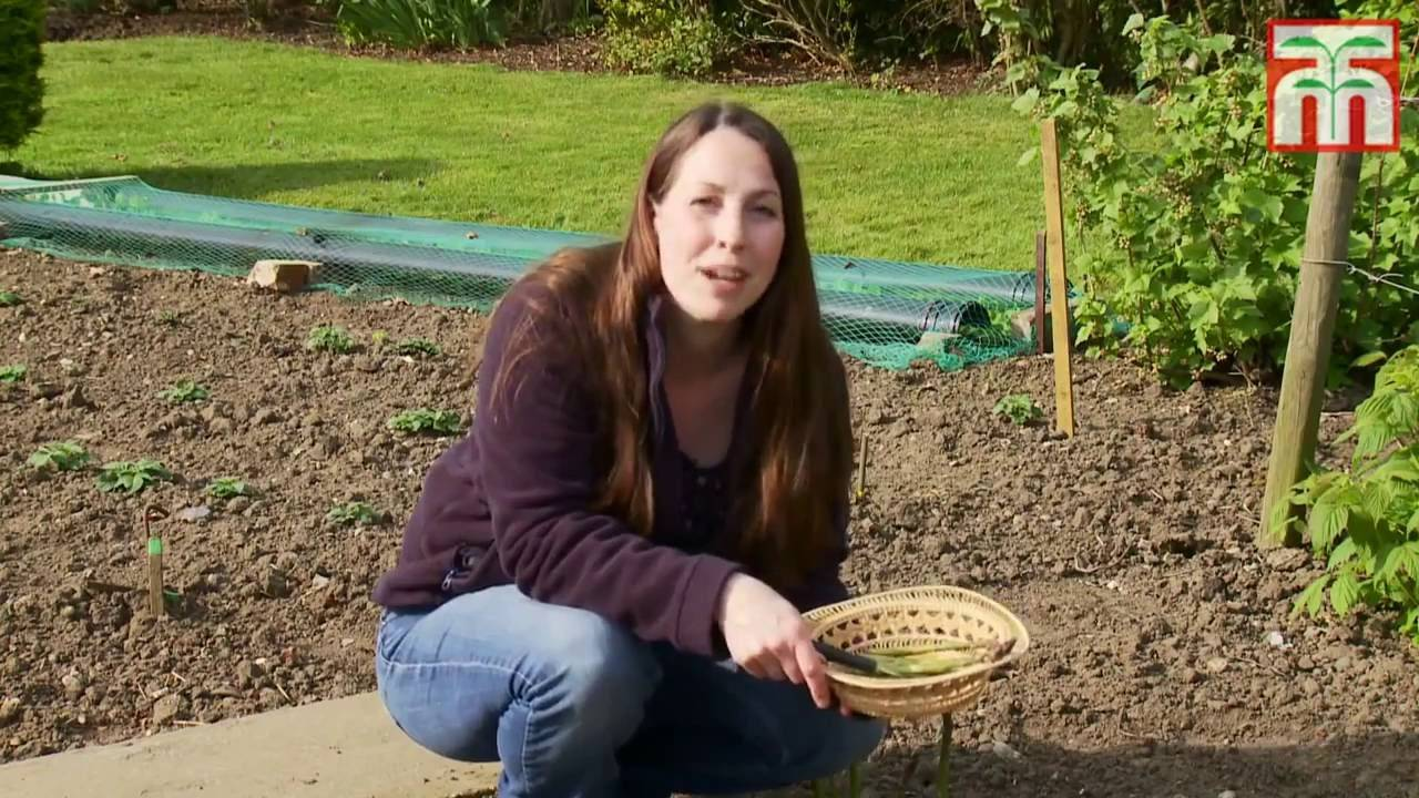 Способы посадки спаржи: как вырастить деликатес без хлопот