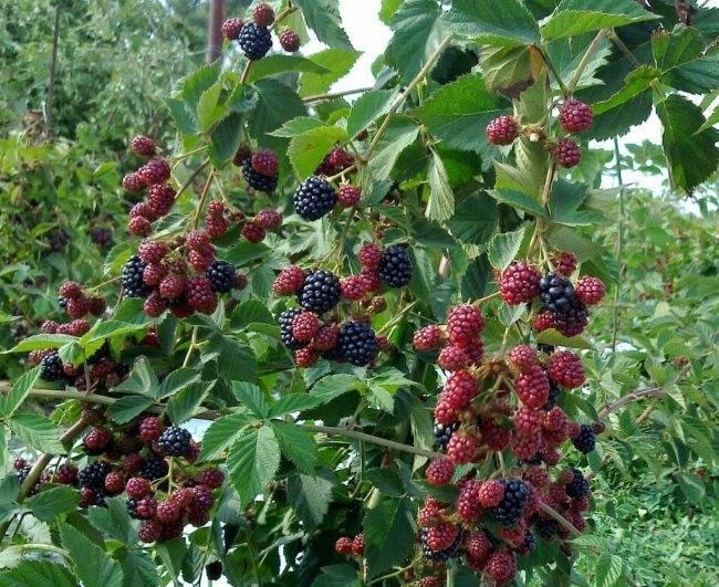 Ежевика – посадка и уход, выращивание