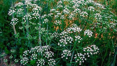 Выращивание бамии из семян: правила посадки и уход за растением