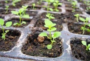 Выращивание космеи из семян