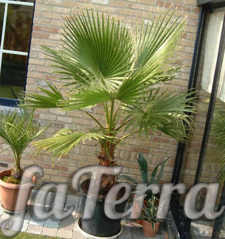 Принципы ухода за пальмой вашингтония в домашних условиях