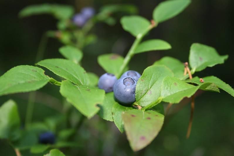 Ягода черника — полезные свойства и противопоказания