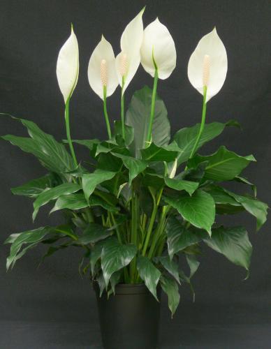 Почему у спатифиллума сохнут листья и их кончики? какой уход нужен растению в домашних условиях?