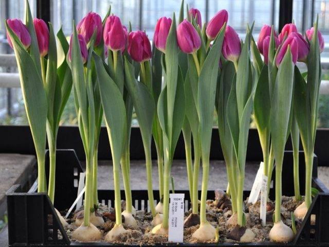 Нежный букет к 8 марта — выгонка тюльпанов дома