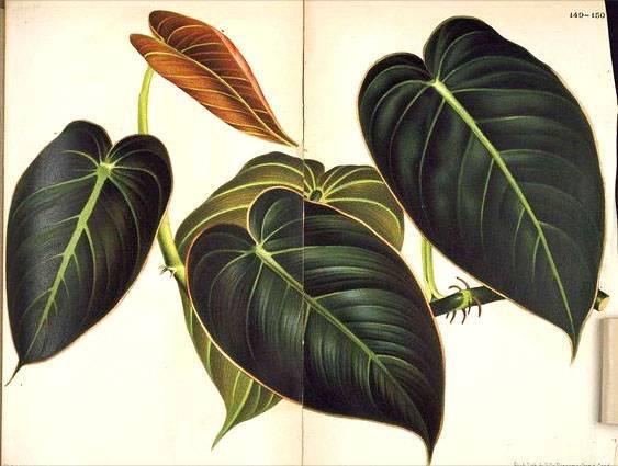 Филодендрон: виды и уход в домашних условиях