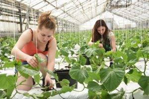 Партенокарпические огурцы: особенности выращивания и уход