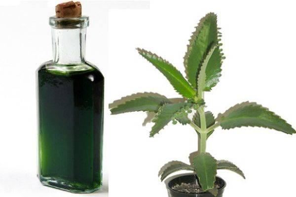 Лечебные свойства сока каланхоэ: применение в медицине и косметологии